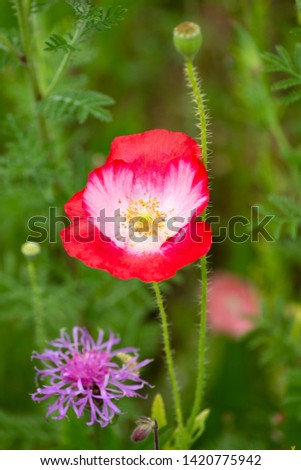 red poppy flowers in a meadow at south germany summer afternoon #1420775942