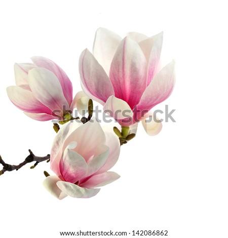 bouquet of magnolia