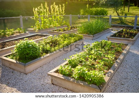 Community kitchen garden. Raised garden beds with plants in vegetable community garden. Lessons of gardening for kids. #1420905386