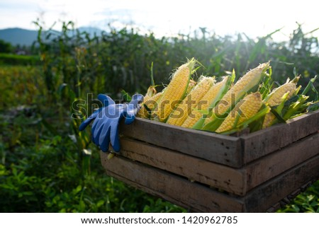 Corn harvest Corn farmer Corn harvest Growing corn Organic Farming, Organic Farming, Food and Vegetable Production, Organic Farming, Agricultural Land #1420962785