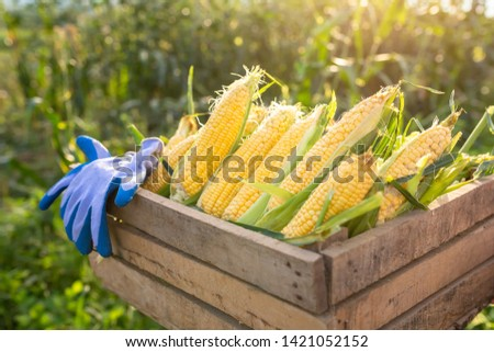 Sweet corn, Organic sweet corn harvested in a wooden crate. The background is a corn field at the close of the sun. #1421052152