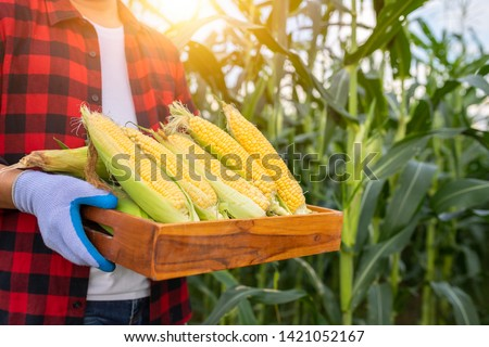 Farmers hold organic sweet corn, Organic fresh sweet corn harvested in wooden crates in the hands of farmers. The background is a corn field. #1421052167