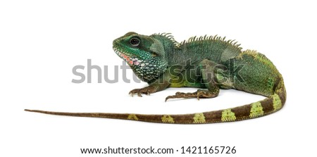 Chinese water dragon , Physignathus cocincinus, is a species of agamid against white background #1421165726