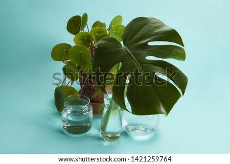 3 transparent glass vases filled with water and a branch of monstera deliciosa inside in front of a potted pilea peperomioide plant on a turquoise background. Play of light and transparency. Minimal  #1421259764