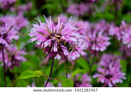 Bee balm flowers in a summer garden, Monarda didyma, whild Bergamot #1421281967