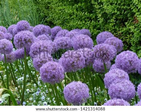 Allium giganteum Globemaster,  common name giant onion, Amaryllidaceae family. #1421314088