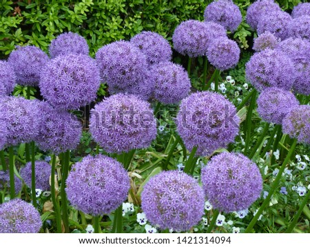 Allium giganteum Globemaster,  common name giant onion, Amaryllidaceae family. #1421314094