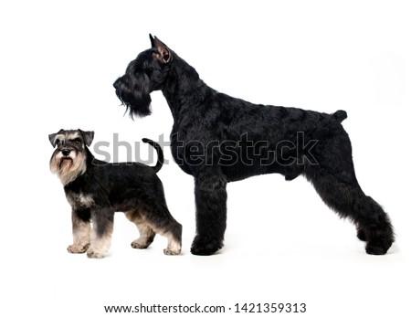 Portrait of standing in profile Giant Schnauzer and Miniature Schnauzer #1421359313