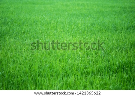 Close up image of rice field in green season #1421365622