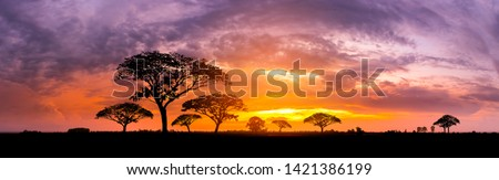 Panorama silhouette tree in africa with sunset.Tree silhouetted against a setting sun.Dark tree on open field dramatic sunrise.Typical african sunset with acacia trees in Masai Mara, Kenya #1421386199