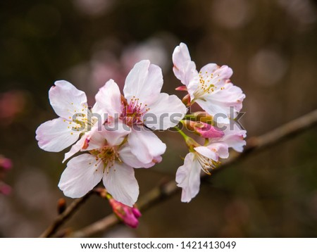 Fresh pink cherry blossoms in the springtime #1421413049