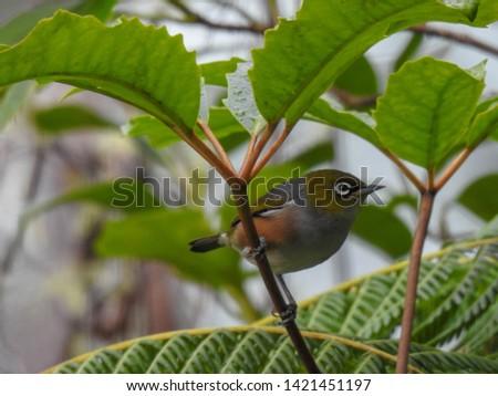 Silver Eye in a Tree #1421451197