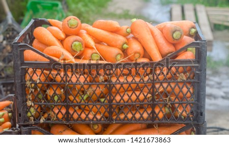 Freshly harvested carrots in boxes. Eco friendly vegetables ready for sale. Summer harvest. Agriculture. Farming. Agro-industry. Organic, bio carrot. Harvesting. Ukraine Kherson region. #1421673863