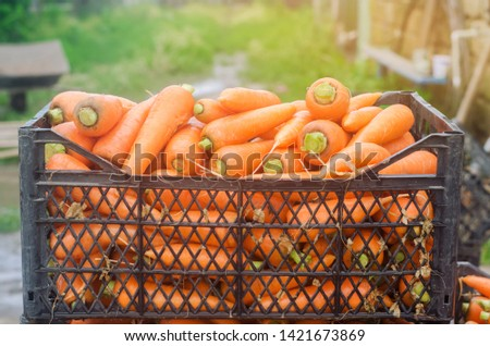 Freshly harvested carrots in boxes. Eco friendly vegetables ready for sale. Summer harvest. Agriculture. Farming. Agro-industry. Organic, bio carrot. Harvesting. Ukraine Kherson region. #1421673869