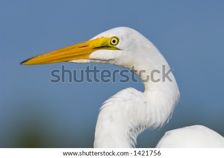 close head shot of great white egret posing in south florida wetland #1421756