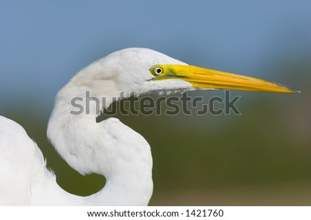 close head shot of great white egret posing in south florida wetland #1421760