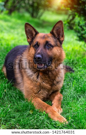 german shepherd dog on green grass.portrait of a black dog. sheepdog.Pet on nature in the forest #1421764031