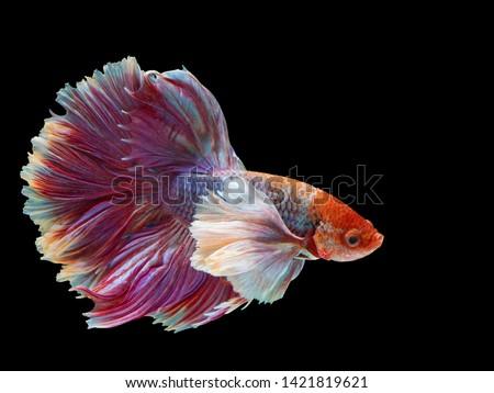 Rhythmic of Betta fish, Siamese fighting fish, Betta splendens Pla-kad  Thai, popular aquarium fish. Big ears dumbo Red White half moon long tail Betta Fighting isolated on  black background.