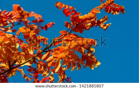 Autumn landscape photography, mountain ash in full beauty, illuminated by the colors of autumn. A tree with fruits in the form of a bunch of orange-red berries, as well as the most berries #1421885807
