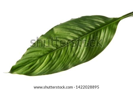 Spathiphyllum wallisei leaf tropical isolated on white background #1422028895