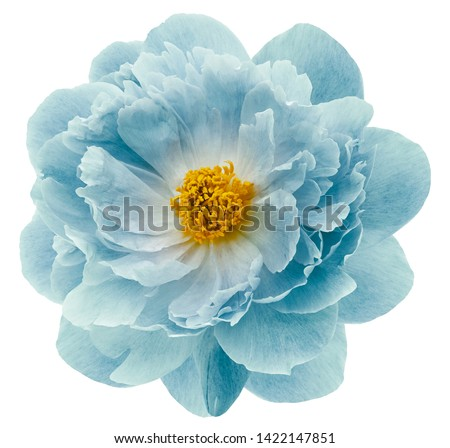 turquoise peony flower isolated on a white  background with clipping path  no shadows. Closeup.  Nature. #1422147851