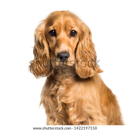 Cocker spaniel looking at camera against white background #1422197150
