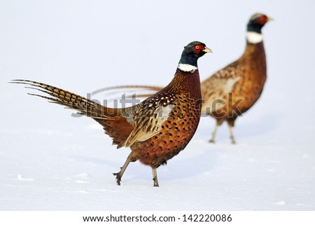 Pheasant, Phasianus colchicus, two males on snow, Midlands, December 2010