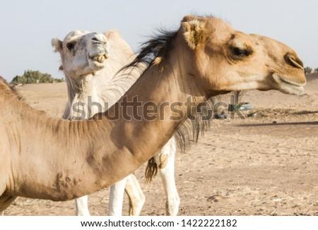 Camels en Merzouga desert in Africa #1422222182