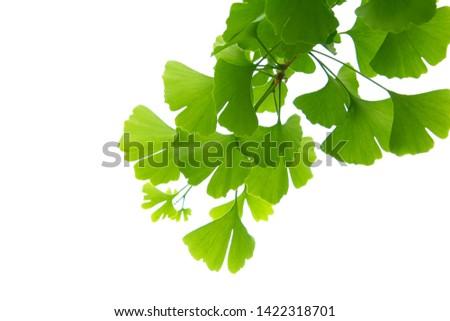 Ginkgo biloba green leaves on a tree. Ginkgo Biloba Tree Leaves on light sky. #1422318701
