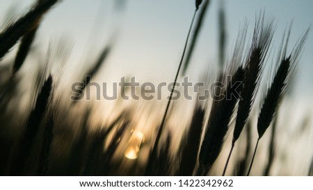 A beautiful view of the growing grains of the grain at sunset field before the be gold. A beautiful sunset in a rural climate near the city #1422342962