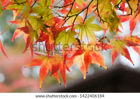 maple leaves changing color from green to red in autumn #1422406184
