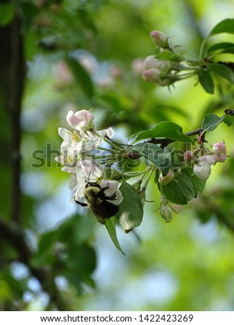 Macro of bee gathering pollen from apple blossoms in spring #1422423269
