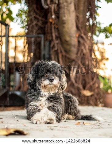 Yorkie Poo dog sitting on pavement. Cute curly haired small dog.