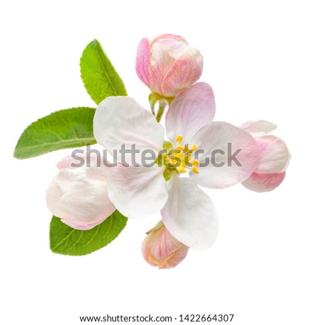 apple flower blossom isolate studio photography
