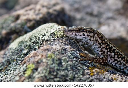 lizard #142270057