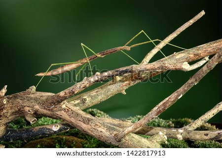 Stick insect or Phasmids (Phasmatodea or Phasmatoptera) also known as walking stick insects, stick-bugs, bug sticks or ghost insect. Stick insect camouflaged on tree. Selective focus, copy space #1422817913