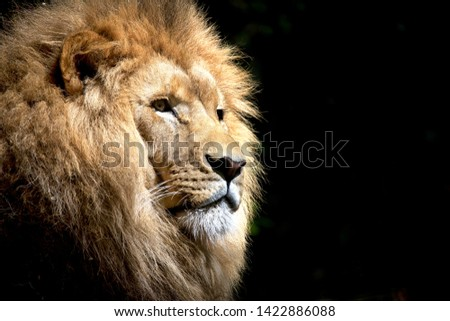 African Animal African Lion with black background #1422886088