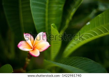 Beautiful Red Plumeria flower for background or used for miscellaneous  Royalty-Free Stock Photo #1422981740