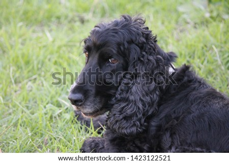 Zoom in on the English Cocker Spaniel #1423122521