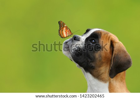 A butterfly on the nose of a young German boxer dog #1423202465