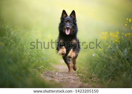 Beautiful black dog jumping on the green-yellow meadow. Dog in action. Happy dog. Impressive dog picture. Bohemian shepherd.