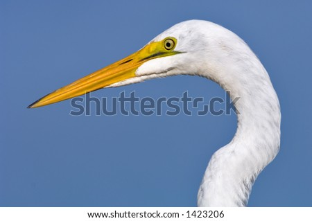 close head shot of great white egret posing in south florida wetland #1423206