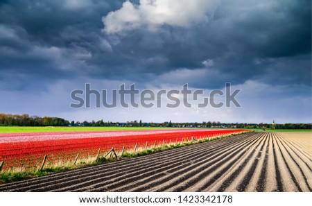 Agriculture farm tulip field landscape. Tulip field Holland. Tulip fields in Netehrlands. Tulip farm fields landscape #1423342178
