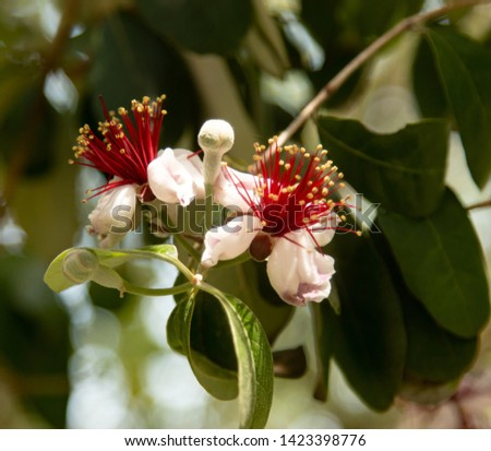 feijoa flowers on the branch #1423398776