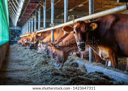 cows dairy breed of Jersey eating hay fodder in cowshed farm somewhere in central Ukraine, agriculture industry, farming and animal husbandry concept #1423647311