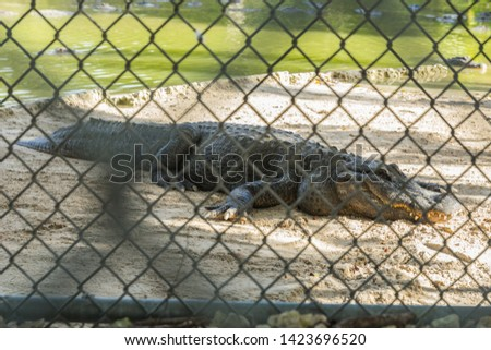 Beautiful big crocodile captive behind fences at St. Augustine Alligator Farm Zoological Park. Picture taken in Florida, United States of America. The animal/reptile is almost asleep. Everglades.