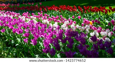 These rows of gorgeous tulips of various shades look spectacular. The magenta tulips in the foreground have a translucent appearance of their petals due to sunlight filtering through them. Awesome pic