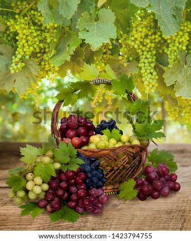 Ripe fresh black grape, green grape and red grape in basket.. Ripening green grapes in the vineyard. #1423794755