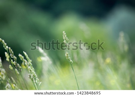 Fresh green grass field on blurred bokeh background close up, ears on meadow soft focus macro, beautiful sunlight summer lawn, spring season nature landscape, natural green grass texture, copy space #1423848695