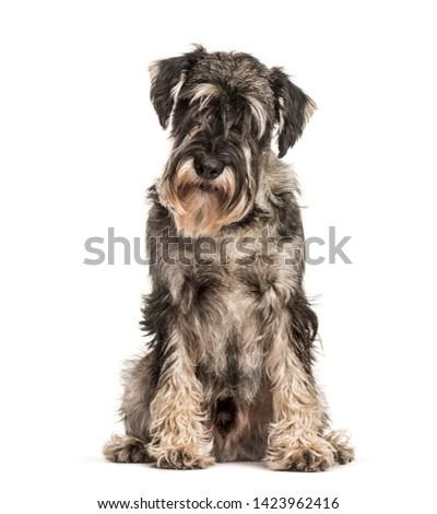 Standard Schnauzer sitting against white background #1423962416